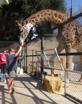 Zoo consulting services barbara 39 s force free animal training for Giraffe childcare fees
